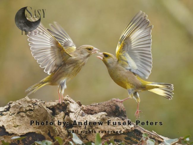 Greenfinches Fighting