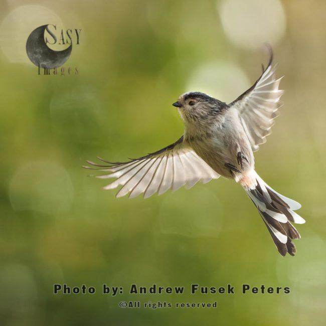 Long-tailed Tit In Flight