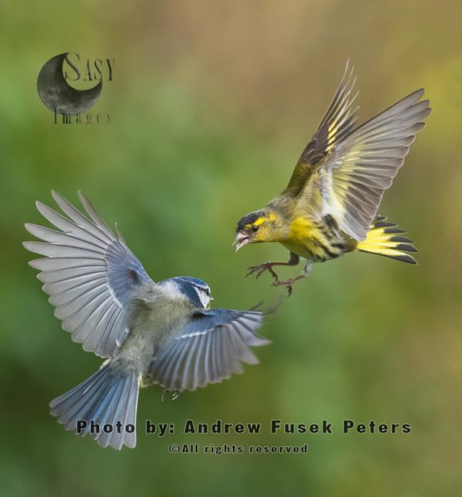 Siskin And Blue Tit Fighting