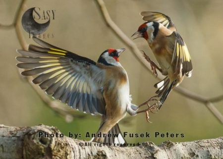 A Pair Of Goldfinches Fighting