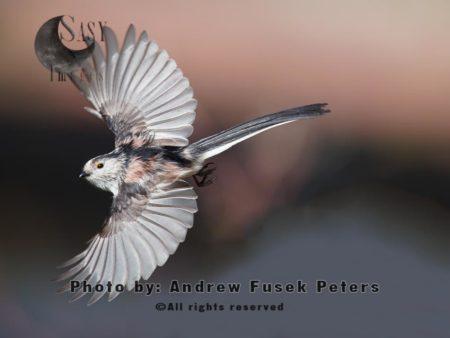 Long Tailed Tit In Flight