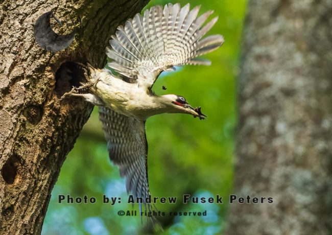 Green Woodpecker Flying Fecal Sac Out Of Nest
