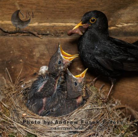Male Blackbird Feeding The Chicks On Nest In A Shed