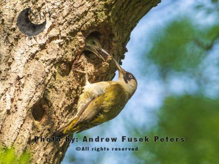 Green Woodpecker Feeding Young.