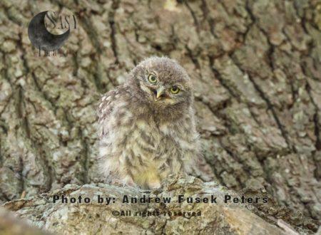 Little Owl Chick  On Oak Tree