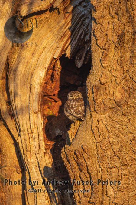 Little Owl In The Oak Tree At Dawn.