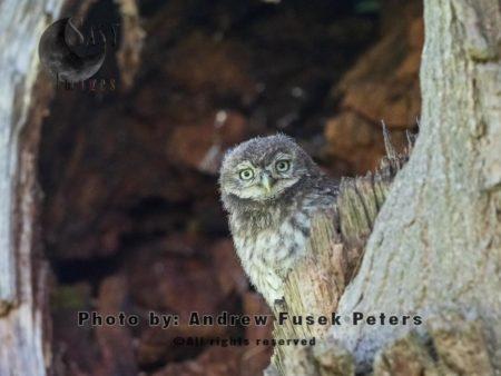 Little Owl Chick In The Oak Tree