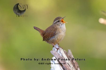 Wren Singing On A Post