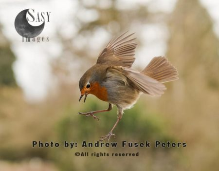 Robin Bird Coming In To Land