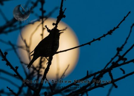 Songthrush Singing As Moon Rises At Dusk