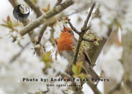 Robin Singing In The Blossom