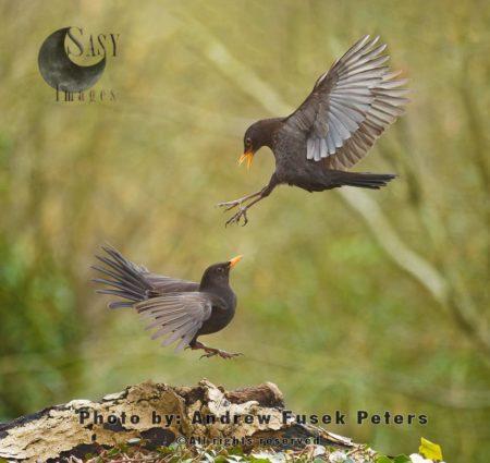 Female Blackbirds Mid-air Fighting In Garden