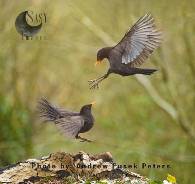 Female Blackbirds Mid-air Fighting