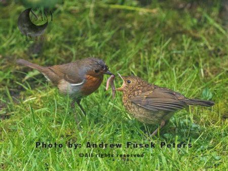 Robin Feeding Fledgling In The Garden