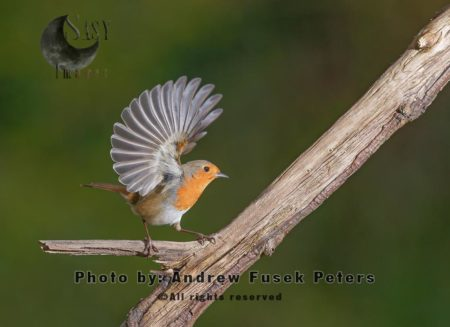 Flared Wing Of A Robin
