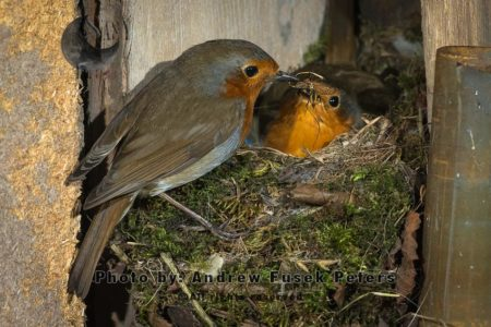 Robin, Male Bringing Crane Fly To Female On Nest In Shed