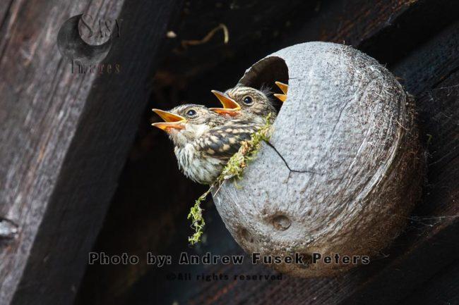 Spotted Flycatcher Chicks In Man Made Nest