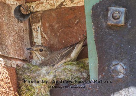 Female Spotted Flycatcher Nesting In Garden