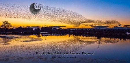 Common Starling Murmuration And Reflection