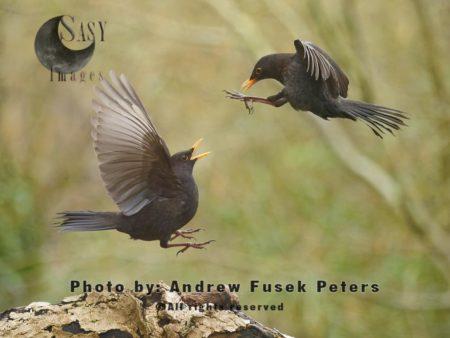 Blackbirds Fighting Mid-air