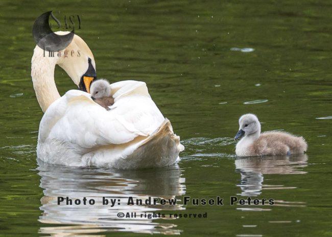 Mute Swan Female With Cygnets