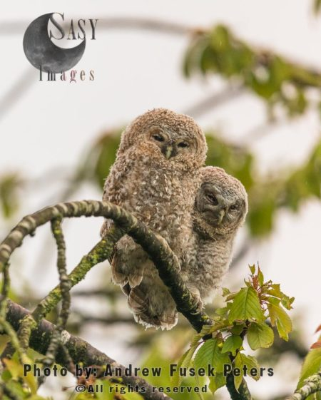 A Pair Of Tawny Owl Chicks Resting On Tree
