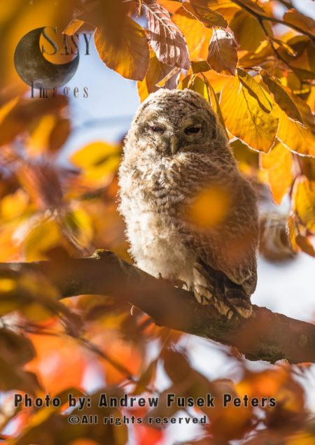 Tawny Owl Chick Resting In The Copper Beech