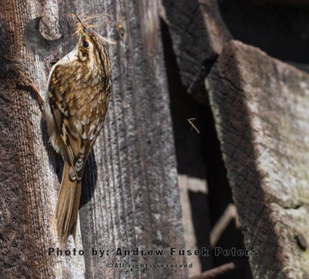 Treecreeper Building Nest