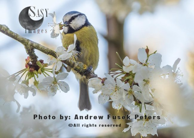 Blue Tit In The Blossom