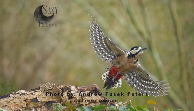 Greater Spotted Woodpecker In Flight
