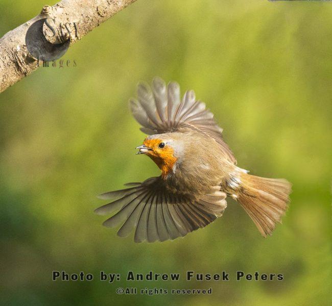 European Robin With Sunflower Seed In Flight
