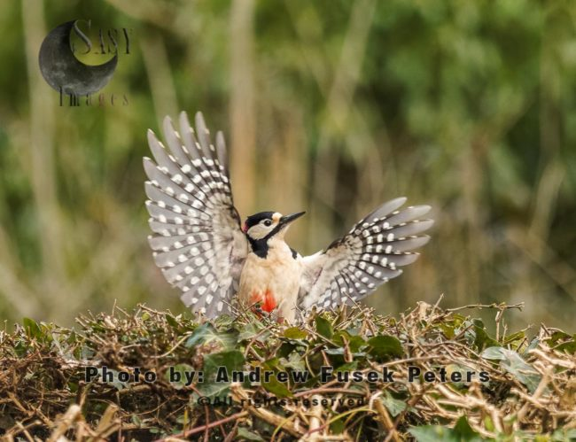 Greater Spotted Woodpecker With Flared Wings