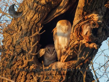 A Pair Of Barn Owls In The Oak Tree At Sunset