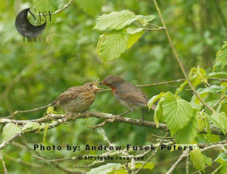 Robin Feeding Fledgling