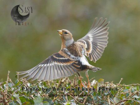 Brambling Bird  In Garden Taking Off