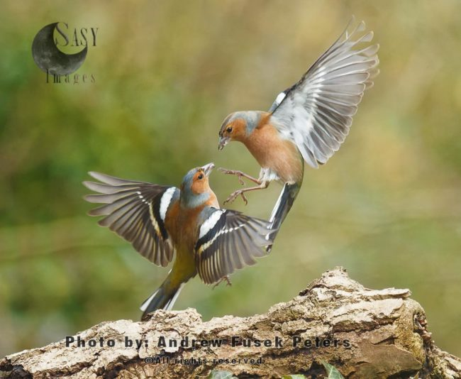 Male Chaffinches Fighting Mid Air