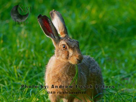 Lepus Hare Grazing