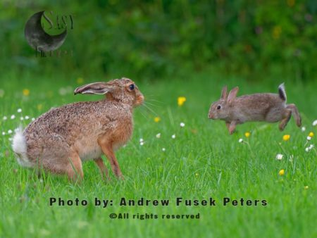 Lepus Jill Female Hare  Attacked By A Rabbit