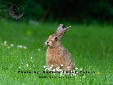 Lepus Jill Hare Waiting For Leveret