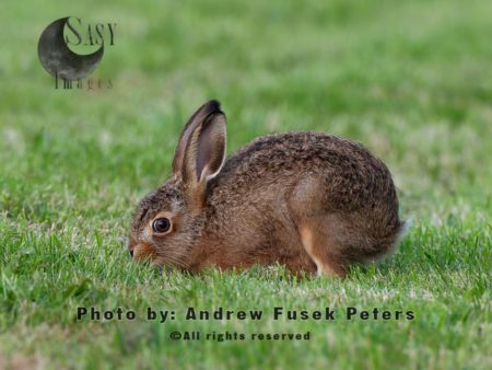A Hungry Leveret (young Hare)