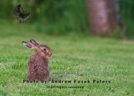 A Hungry Leveret