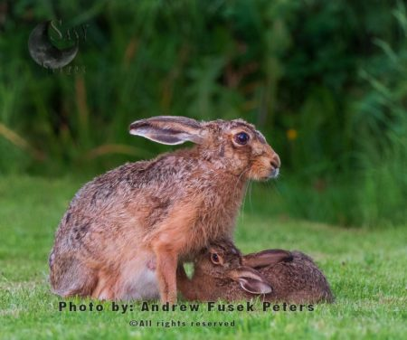 Lepus Hare,  Jill Female Hare Feeding Leveret (young Hare) At Dusk