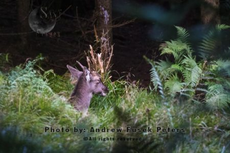 Young Long Haired Fallow Buck At Mortimer Forest