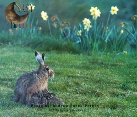 Jill Female Hare Feeding Leveret