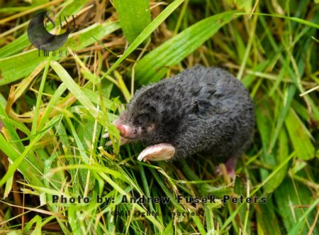 Mole Going Above Ground Due To Flooding