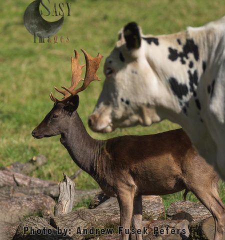 The Fallow Buck That Thought It Was A Cow