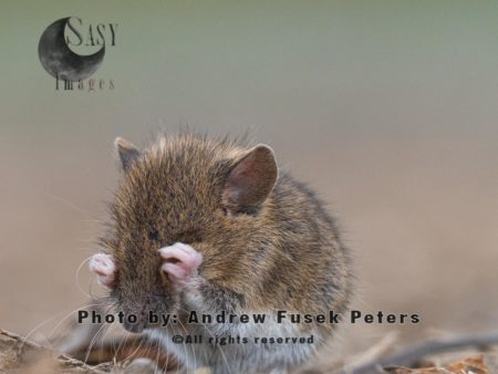 Harvest Mouse Micromys Minutus, Preening