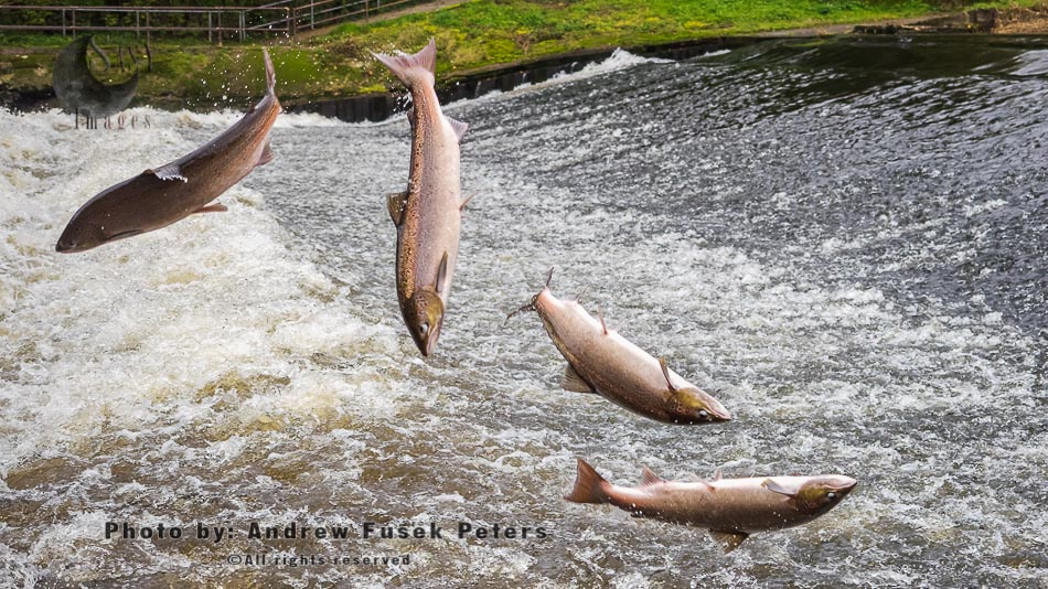 Atlantic Salmon, Hen Salmon, Felmale Leaping Sequence At Shrewsbury Weir - Action Sequence