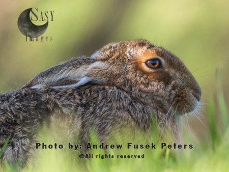 Lepus Hare In Field
