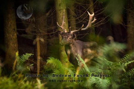 Long Haired Fallow Buck Mortimer Forest